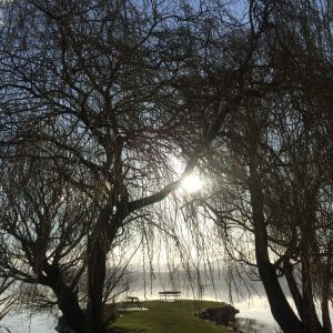 Willows on the banks of Lake Waihola